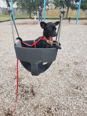 Black chihuahua for Sale in Houston, TX