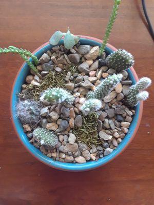 Small Cactus succulent living arrangement for Sale in Irving, TX