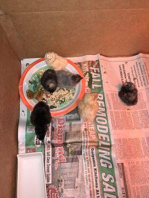 Chicks 🐥 for Sale in Queen Creek, AZ