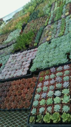 Succulent plants... Suculentas for Sale in Riverside, CA
