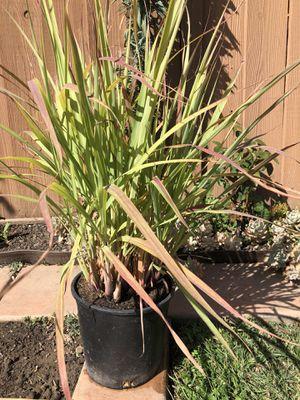 "Lemongrass in 3"" pot for Sale in San Jose, CA"