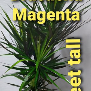 Real Dracaena Magenta plant 5feet for Sale in Garden Grove, CA