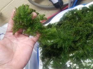 Aquarium plant hornwort for Sale in Lorain, OH