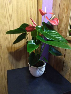 Anthurium for Sale in Woodburn, OR
