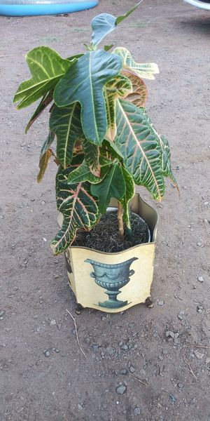 Indoor plant tree croton for Sale in San Marcos, CA
