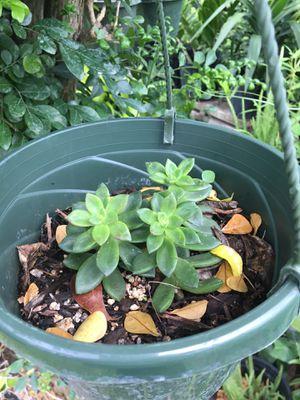 Succulent plant hanging basket for Sale in Homestead, FL