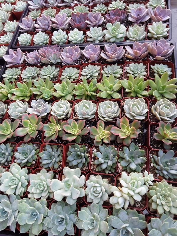 """2"""" pots with succulent plants $1 each and $55 for tray of 64 plants"""