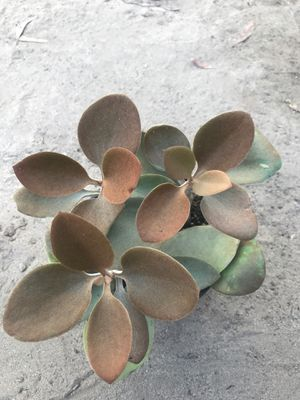 Copper Spoons Succulent for Sale in Dinuba, CA
