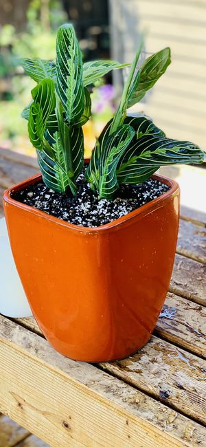 Live indoor Lemon Lime Prayer house plant (Maranta Marisela) in an orange ceramic planter flower pot—firm price for Sale in Seattle, WA