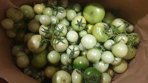 FRESH Organic Green Tomatoes! $5 for 10 lbs! for Sale in Seattle, WA