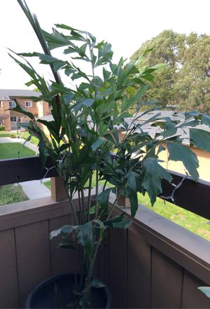 Beautiful fishtail palm tree (Palm, plant, succulent) for Sale in Poway, CA