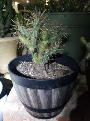 Cactus, Cholla, Jumping Cholla for Sale in Upland, CA