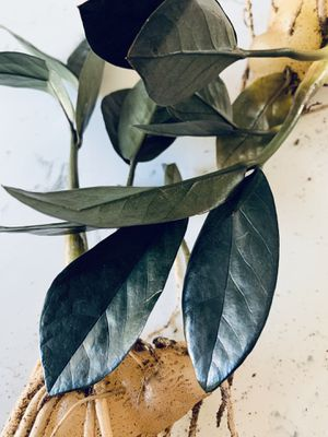 RARE Black Raven ZZ Plant - 8 Leaves for Sale in San Diego, CA