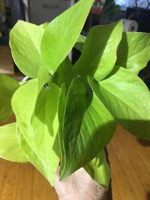 Neon pothos. for Sale in Chicago, IL