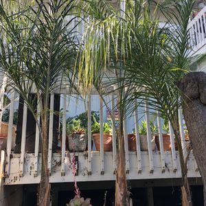 Queen Palms In Pots for Sale in Dana Point, CA