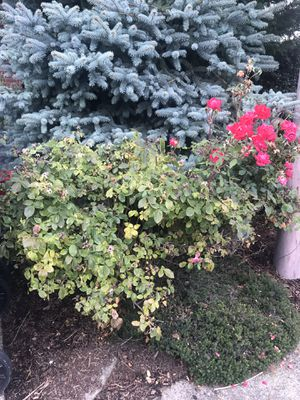 Free Rose Bush! for Sale in Tigard, OR