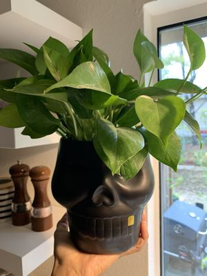 Real plant and skull pot for Sale in Lancaster, TX