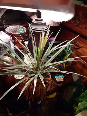 Middle size plant good healthy for Sale in Murfreesboro, TN