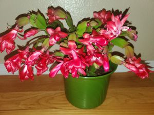 Thanksgiving cactus 🌵 plant for Sale in BETHEL, WA