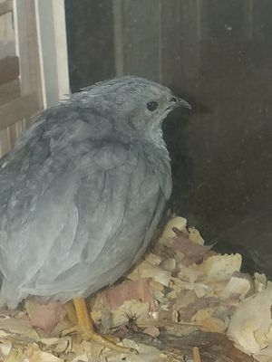 """5 Button Quail"" Babies!! PERFECT PET for Sale in Bedford, VA"