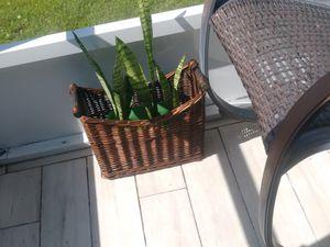 Sneak plant $15 for Sale in Orlando, FL