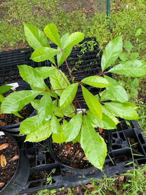 Smooth Chaste Tree, Bush Currant, Black Plum for Sale in Kissimmee, FL