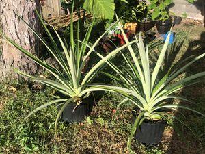 Pineapple for Sale in Sarasota, FL