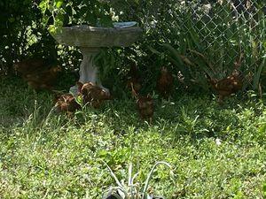 Chicken 🐥 Pullets for Sale in Allen Park, MI