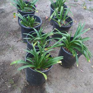 Purple Agapanthus Plants for Sale in Fullerton, CA