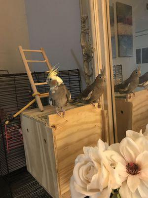 Cockatiel birds for Sale in Austin, TX