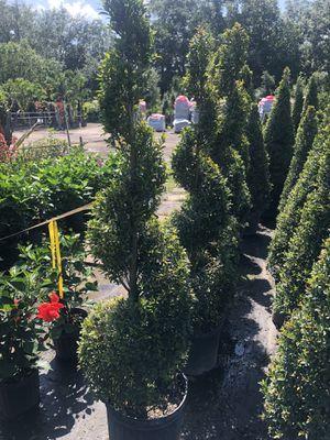 Topiary spiral groomed 3-4ft tall DeliveredndInstalled for Sale in Orlando, FL