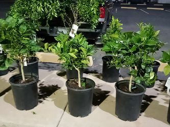 7 Gallon Blood Orange And Pink Grapefruit Trees 2 For $60 for Sale in Phoenix,  AZ