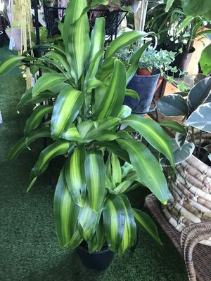 """Plants (3gallons x 4ft tall Dracaena Corn """"fortune plants"""" $20) for Sale in Chula Vista, CA"""