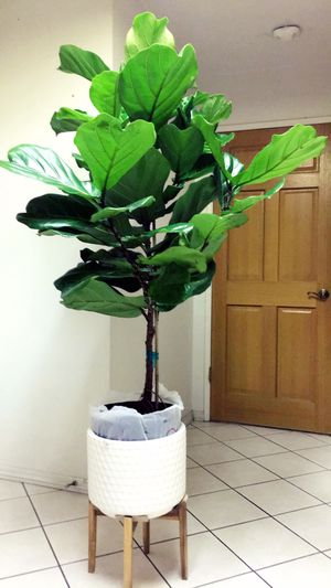 "Fiddle Leaf Fig Tree Plant - 5'4"" Tall X 3'3"" Wide Live Plant Tree - Planter Not Including - Very Healthy Leaves for Sale in Garden Grove, CA"