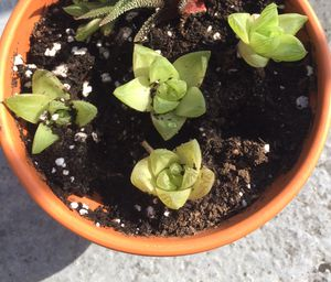 Succulent plants, young, sold individually for Sale in Baltimore, MD