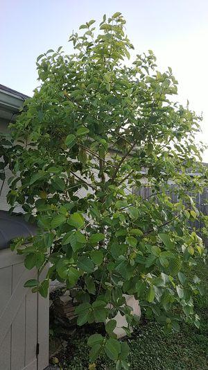 Beautiful Indonesian Kratom tree for Sale in Kissimmee, FL