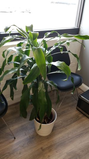 Office/Home Palm Plant (WHITE POT INCLUDED) for Sale in Rockville, MD