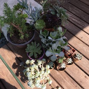 Various Succulents- All for $35 for Sale in Newark, CA