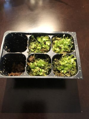 Venus fly traps for Sale in Concord, NC