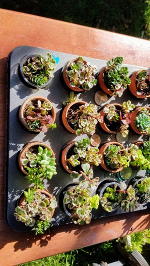 SUCCULENTS TINY MINI SUCCULENTS 3 FOR $10 NICE SELECTION for Sale in San Lorenzo, CA