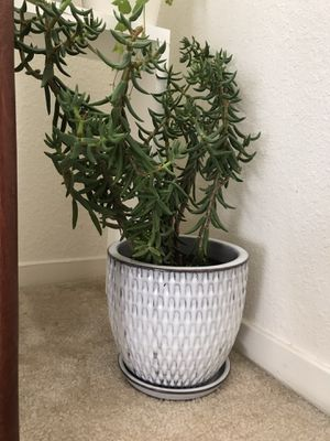 Pine tree succulent in ceramic planter pot for Sale in Foster City, CA