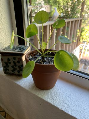 pilea for Sale in Lancaster, TX
