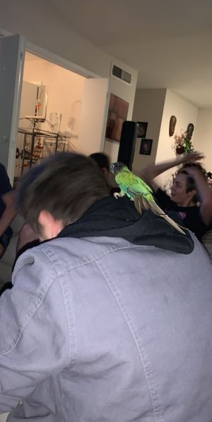 Conure for Sale in Houston, TX