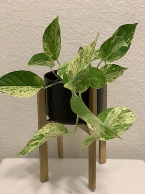"""4"""" Marble Queen Pothos for Sale in San Diego, CA"""