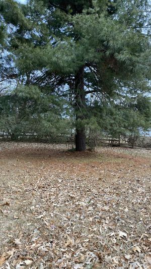 Free pine trees if you cut and take. for Sale in Cabot, AR