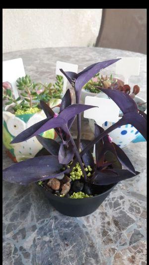 Purple.heart in a.pot. multile plants in a pot for Sale in Reedley, CA