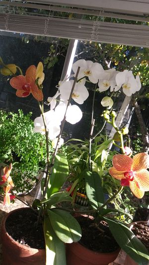 Beautiful 2 orchid flower in clay pots for Sale in Richmond, CA