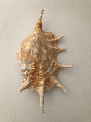 Large Queen Nautical Shells Conch Natural Seashell Beach Ocean Home fish tank Decoration for Sale in Las Vegas, NV