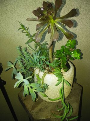 Beautiful succulent/ hermosa suculenta for Sale in Modesto, CA