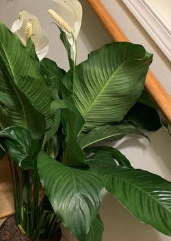 Huge Peace Lily for Sale in Renton,  WA